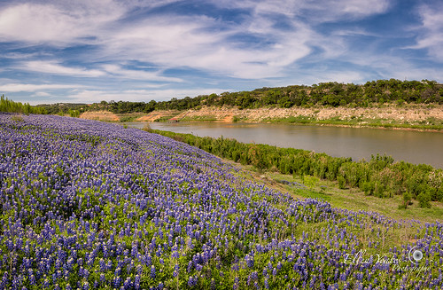 park flowers blue plants usa flower nature field austin river photography texas place unitedstates bend outdoor picture bluebonnet wildflowers bonnet muleshoe marblefalls texaswildflowers landscaoe spicewood muleshoebend ellenyeates ellenyeatesphotography muleshoebendpark