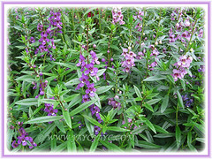 Two cultivars of Angelonia angustifolia (Summer Snapdragon, seen at a nursery - Nov 3 2013
