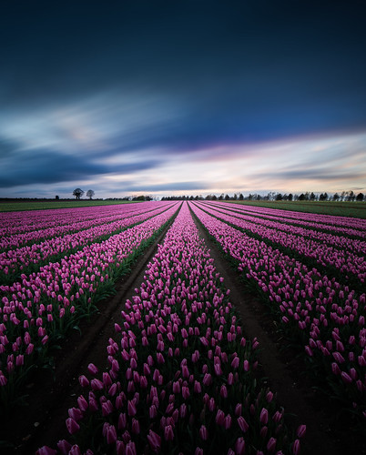 longexposure flowers light red panorama sun blur church field lines yellow star movement long exposure tulips pano wide perspective band line tulip bluehour burst distance redflowers purpleflowers leadinglines