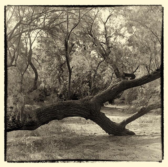 Taray tumbado en el Bosque de los Tarayes