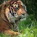 sumatran tiger blijdorp JN6A8582 by j.a.kok
