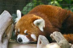 Fuji the Red Panda