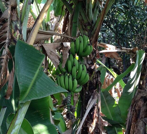 160711 台湾バナナの木3