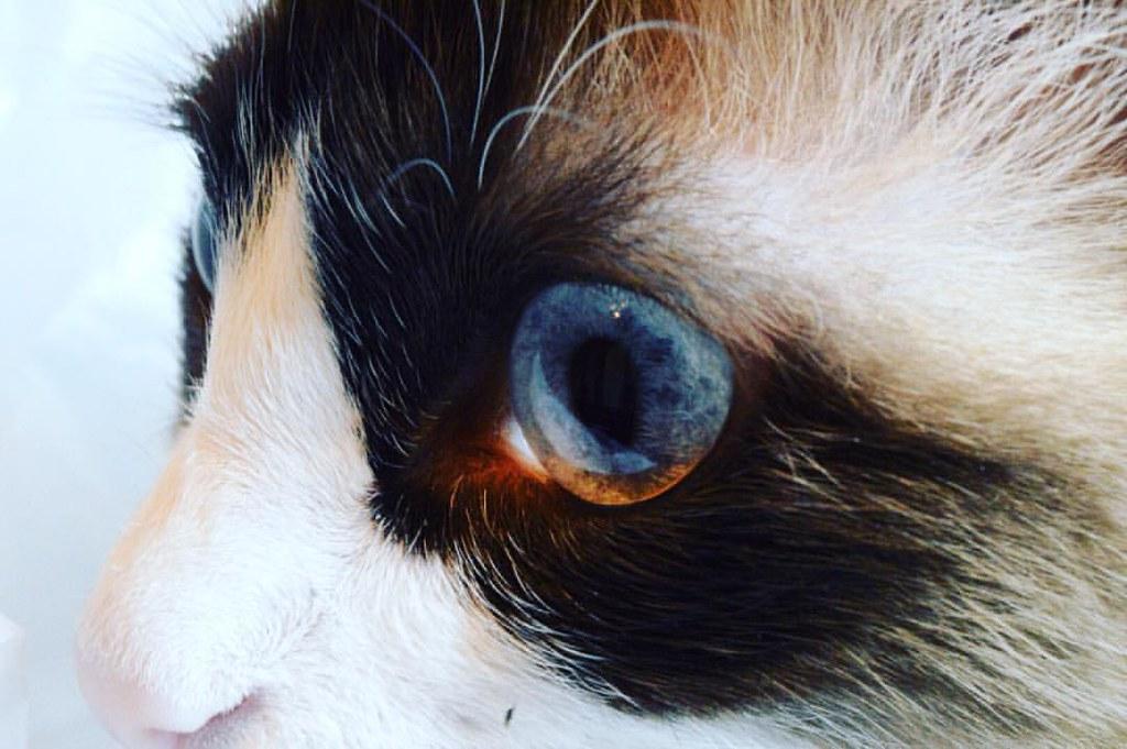 #nikon #nikond3300 #nikonphotography #photography #catsofinstagram #ragdollcatsofinstagram #cat #close #eye #whiskers #animals #animalsofinstagram #blueeyes #farley