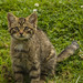 Scottish Wildcat kitten at BWC by bobmatt1
