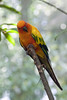 A very confident Sun Conure