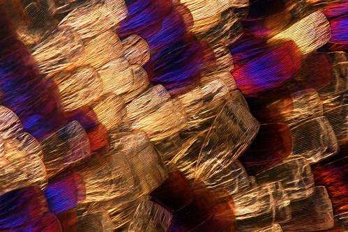 macro gold moth lepidoptera scales micro macropod animalia arthropoda insecta macroscopic pterygota purplle taxonomy:class=insecta taxonomy:order=lepidoptera taxonomy:kingdom=animalia taxonomy:phylum=arthropoda taxonomy:subclass=pterygota eriocraniidae dyseriocrania dyseriocraniagriseocapitella taxonomy:family=eriocraniidae macroscopicsolutions eriocranioidea taxonomy:superfamily=eriocranioidea taxonomy:genus=dyseriocrania taxonomy:species=griseocapitella taxonomy:binomial=dyseriocraniagriseocapitella