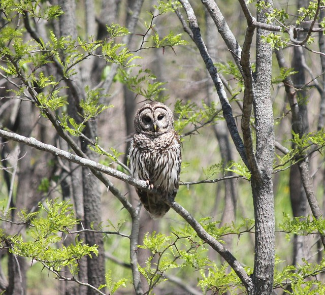 Barred Owl | This stun...