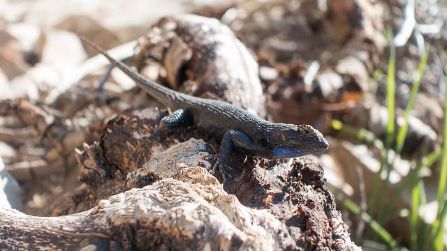 Wary lizard, m300