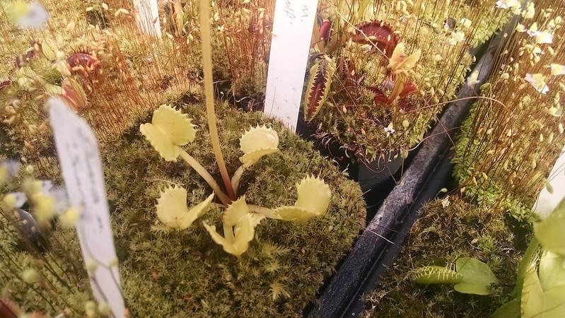 Dionaea 'Werewolf'
