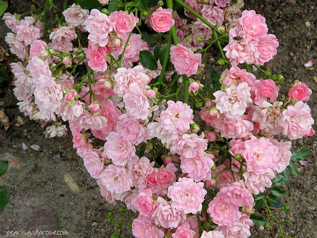 rostock_roses_web