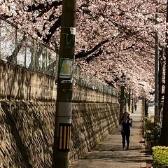 earlier🌸  #sakura #ikeda #osaka #latergram #池田 #桜 #大阪