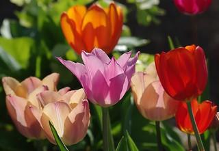Les tulipes sont en fête
