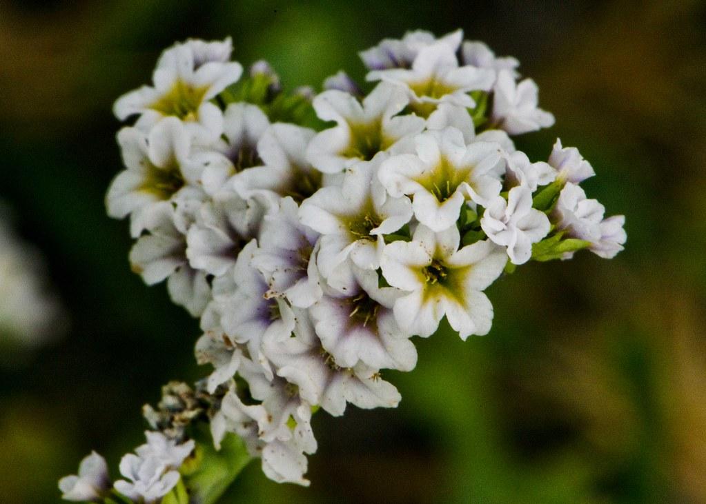 Quail Plant (Heliotropium curassavicum)