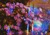 Purple Haze Chrysanthemum