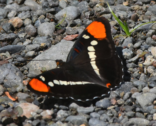 Header of Adelpha californica
