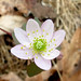 Rue anemone by Kerry Wixted