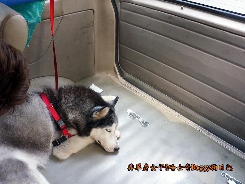 哈士奇Doggy2013陽明山二子坪24