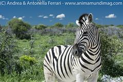 Burchell's zebra Equus quagga