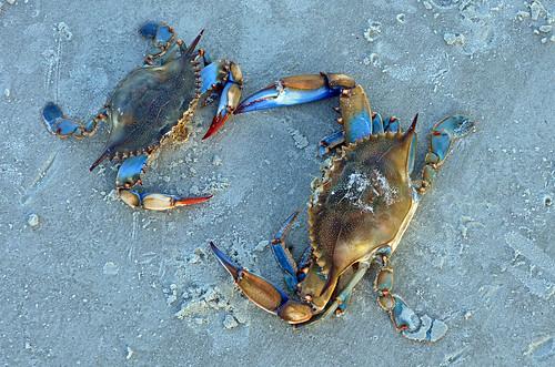 Blue Crabs on Beach DSC_0899