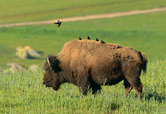 Cowbirds on Bison