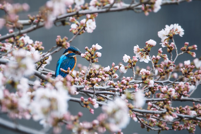 Sakura and Common kingfisher