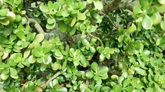 annual plant, shrub, leaf, plant, herb, green, groundcover,