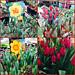 Tulip Varieties - Lafayette Florist, Gift Shop & Garden Center