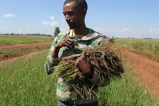 Farmer harvesting rhodes grass seed_Koga (Photo:ILRI\Yigzaw Dessalegne)