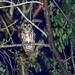 Mottled Owl (Strix virgata squamulata) por Chub G's M&D