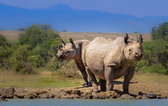 Rhino under blue skies, Ol Pejeta