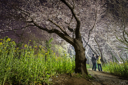 Nighttime Stroll under Cherry Blossoms, Jeju City, Jeju