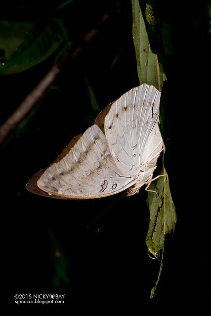 Butterfly (Lepidoptera) - DSC_3033