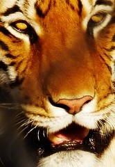 nose, animal, big cats, tiger, snout, mammal, fauna, close-up, whiskers, wildlife,