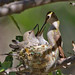 IMG_3791 Anna's Hummingbird and Nestlings by lois manowitz