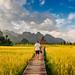 Boardwalk between rice fields in Vang Vieng, Laos by syukaery