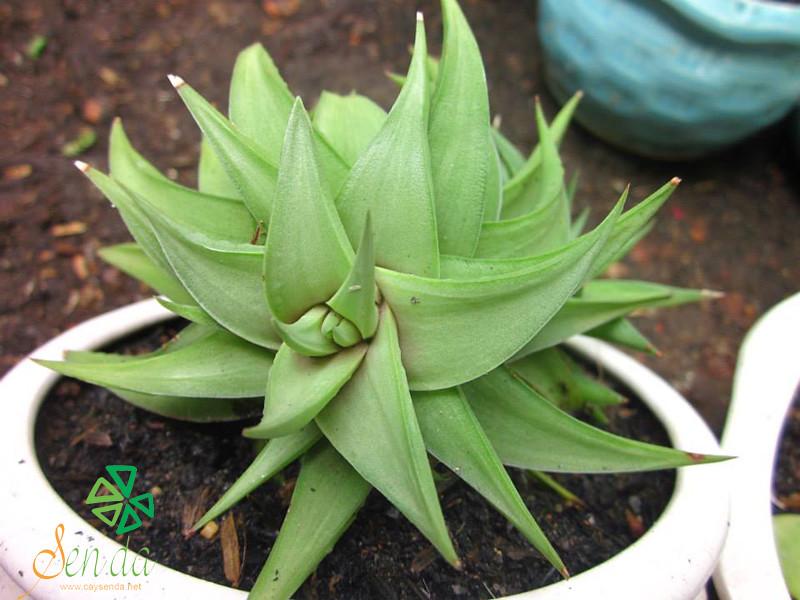caysenda.com | sen da | xuong rong | tieu canh sen da | art plant | terrarium | sao bien xanh