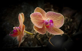 Orquids...
