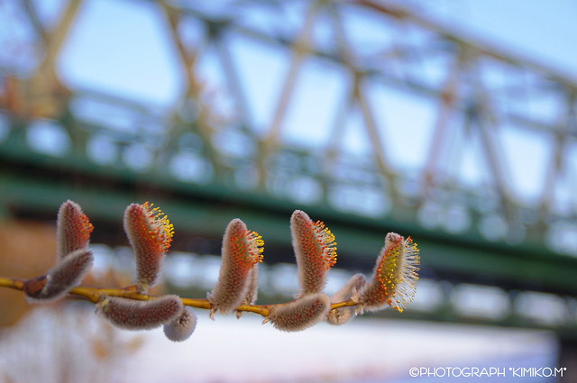 ネコヤナギ花穂と鉄橋
