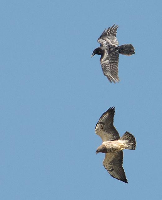 Swainsons Hawk vs Raven Aerial Combat 1