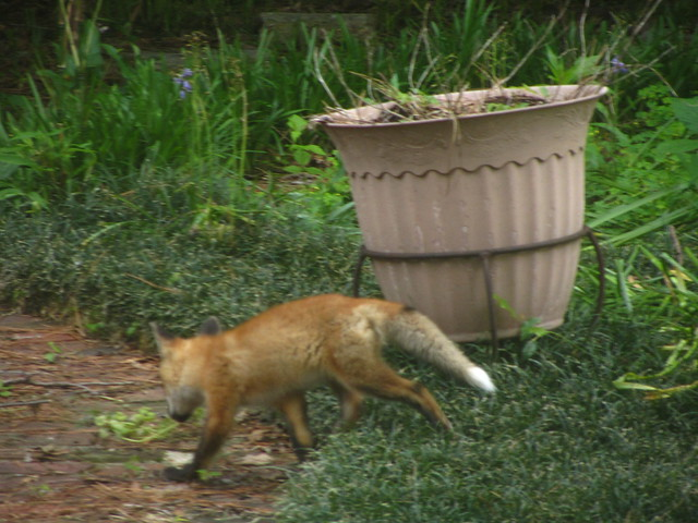 one of eric stone's foxes