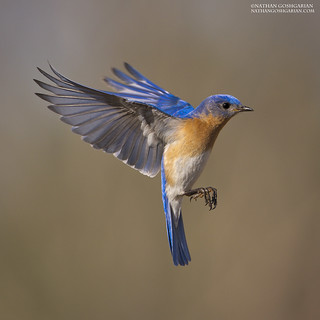 Eastern Bluebird (Male)- Ipswich, MA
