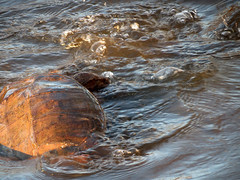 turtle turbulance
