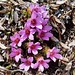 Purple Saxifrage - Photo (c) Joan Simon, some rights reserved (CC BY-SA)