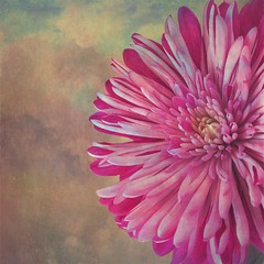 dahlia, flower, chrysanths, pink, petal,