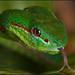 Siam Pitviper (Trimeresurus gumprechti or Viridovipera gumprechti)) by guenterleitenbauer