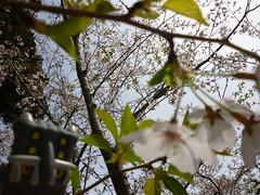 Bastiodon in Mobara, Chiba 10 (Mobara park)