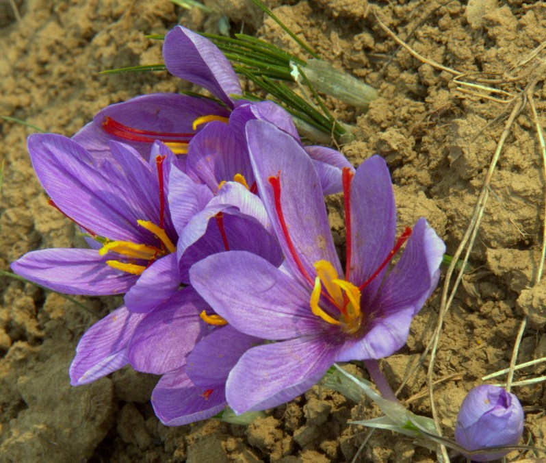 world's best saffron grows in pampore