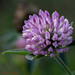 Trifolium pratense by Timo Halonen