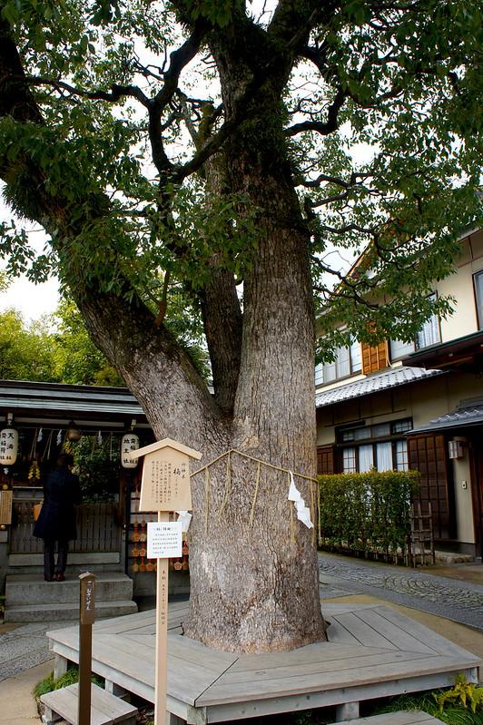 御神木/晴明神社(Seimei-jinja Shrine / Kyoto City) 2015/03/12 04776
